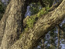 New Growth on a Gum Tree Branch. New Green Growth of Vegetation on a Gum Tree in Australia stock photos