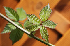New green leaves Royalty Free Stock Photo