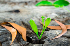 New green leaves born on old tree Royalty Free Stock Photo