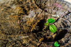 New green leaves born on old tree, textured background , nature stock photo,select focus Royalty Free Stock Images