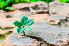 New green leaves born on stone, textured background , nature stock photo,select focus Royalty Free Stock Photography