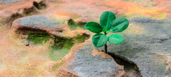 New green leaves born on stone, textured background , nature stock photo,select focus Stock Photography