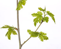 New Green Leaves on the Branch isolated Stock Photo
