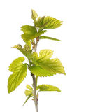 New Green Leaves on the Branch isolated Royalty Free Stock Image