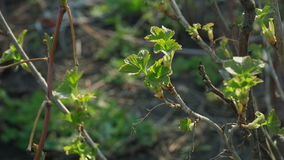 New green leaves on currants bush stock video footage