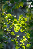New green leaves glowing in sunlight Royalty Free Stock Photos