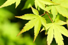 New green leaves Stock Photography