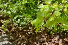 New green leaves open on a lime tree. Branch in spring, in selective focus against foliage stock images