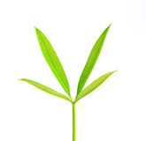New green leaves of  tree isolated on white backgr Royalty Free Stock Photos