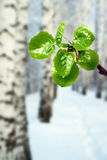 New green leaves at winter Stock Images