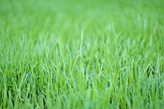 New green oats grass with water drops Royalty Free Stock Photo