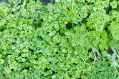 New green parsley with water drops Stock Photos