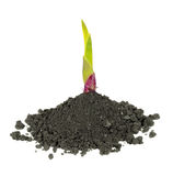 New green plant in dirt Royalty Free Stock Image