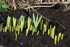 New green shoots from bulbs on frosty morning. New green shoots from daffodil bulbs sprouting through compost in a garden area on a frosty January morning with royalty free stock images