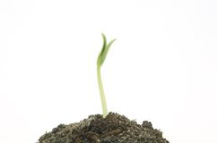New green sprout lasts upwards Royalty Free Stock Photography