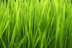 New Green Sprouted Wheat Grass - food Stock Photos