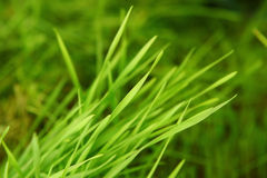 New Green Sprouted Wheat Grass - food Stock Photo
