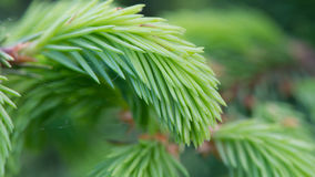 New Green Spruce Branches (16:9 Aspect Ratio) Royalty Free Stock Photography