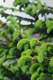 New Green Spruce Branches Royalty Free Stock Photo