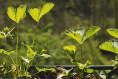 Strawberrie plants growing in a garden. New green, strawberrie plants growing in a garden Royalty Free Stock Images