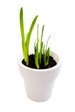 New greenshoots. Green shoots of a flower grow in a white pot isolated against a white background Stock Photos