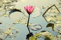 New growing bud of pink lotus, reflection on water of flower, Indian national flower stock photo