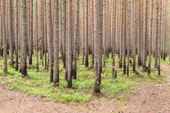 New growing pines in forest after fire Stock Photography