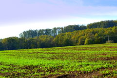 New grown green crops field Stock Images