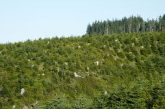 New Growth 1. New tree growth in a clearcut area on a mountainside along the Pacific coast Stock Images