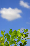 New Growth. Green leaves against blue sky Stock Images
