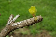 New Growth. Sprouting from tree limb Royalty Free Stock Images