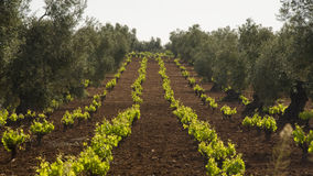 New Growth. Of grapes planted in between rows of olives Stock Photo
