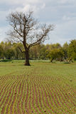 New growth in agricultural field. Rows of seeds sprout in agricultural farm field Royalty Free Stock Image