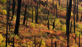 New Growth Begins After Forest Fire Burnt Bark Charred Trees Stock Image