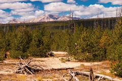 New Growth Evergreens. In Yellowstone Park with mountains in the backgroud stock photos