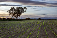 New Growth - Farmland - Agriculture Stock Photos