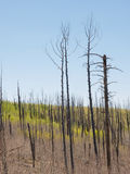 New growth after the fire. New tree seedlings start to grow in an area previously burned with dead trees snags Stock Photography