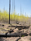 New growth after the fire. New tree seedlings start to grow in an area previously burned with dead trees snags Royalty Free Stock Photo