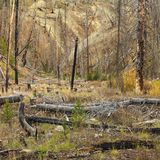 New growth after forest fire. Royalty Free Stock Photography