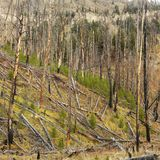 New growth after forest fire. Royalty Free Stock Photos
