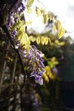 New Growth New Hope for the Future. Tender new leaves on a wisteria tree with ready to open lavender  blossoms and bright sunshine in the background Royalty Free Stock Images