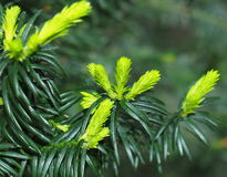 New Growth On Japanese Yew Or Taxis Cuspidata. New growth on Japanese yew or Taxus cuspidata in spring stock photography