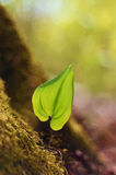 New growth leaf in the spring forest. Photo of the new growth leaf in the spring forest representing new life Royalty Free Stock Photo