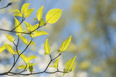New growth leaves in sunlight. Royalty Free Stock Photos