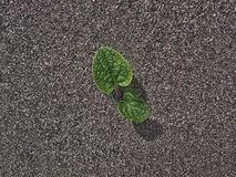 New growth. A newly sprouted plant growing in a sandy medium Stock Images
