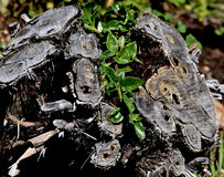 New Growth From Old Tree Stump Stock Image