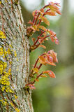 New growth on an old oak trunk Stock Photo