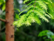 New Growth On Redwood Tree Stock Images