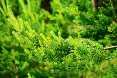 New growth on Scots or Scotch pine tree branch Pinus sylvestris. New growth on Scots or Scotch pine tree branch Pinus sylvestris L.. Young evergreen coniferous Stock Image