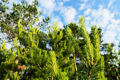 New growth on Scots or Scotch pine trees Pinus sylvestris against sky. New growth on Scots or Scotch pine trees Pinus sylvestris L. against sky. Young evergreen Stock Images